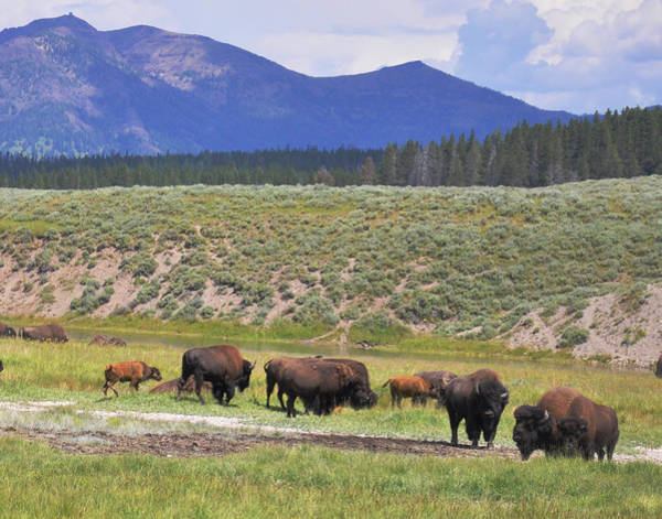 Photograph - Bison Of Yellowstone by Chance Kafka