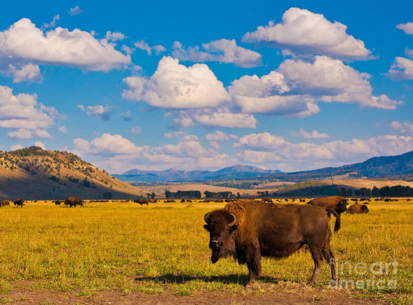 Wall Art - Photograph - Bison Paradise In Yellowstone National by Lorcel