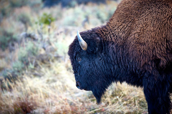 Wall Art - Photograph - Bison Profile by Paul Freidlund