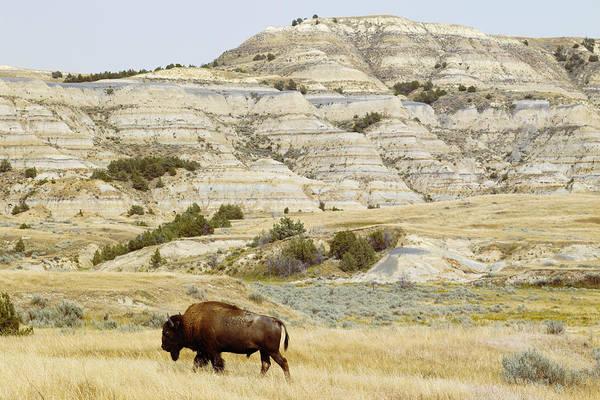 North Dakota Badlands Wall Art - Photograph - Bison Roaming The Prairie by Dirk Anschutz