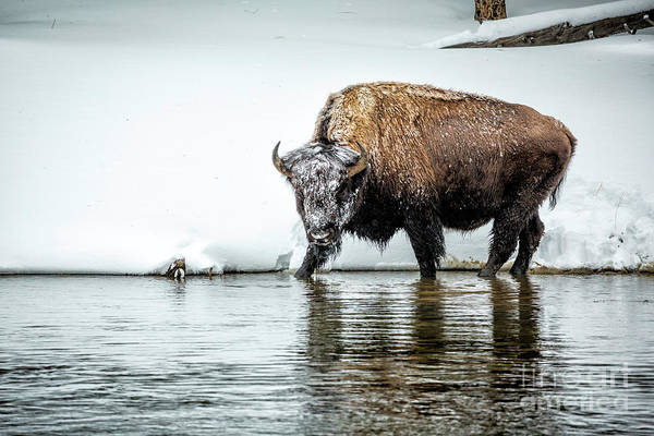 Wall Art - Photograph - Bison Stare by Timothy Hacker