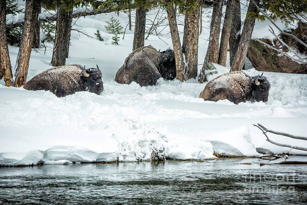 Wall Art - Photograph - Bison Trio by Timothy Hacker