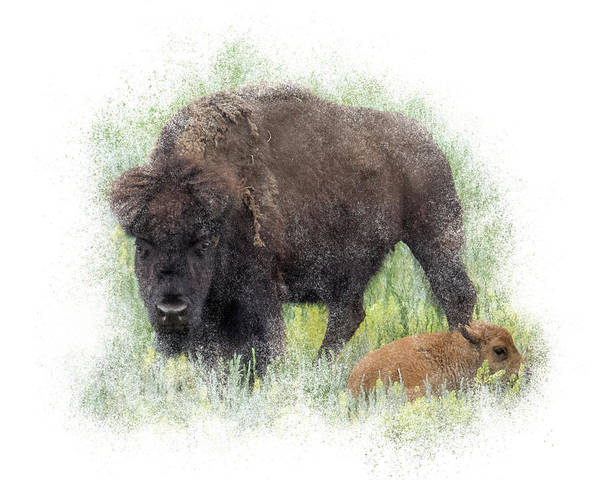 Photograph - Bison Protecting Calf by Patti Deters