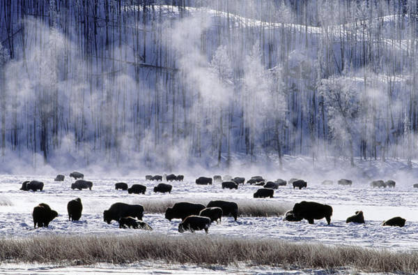 Catalog Photograph - Bisons In Winter At Yellowstone by Konrad Wothe / Look-foto