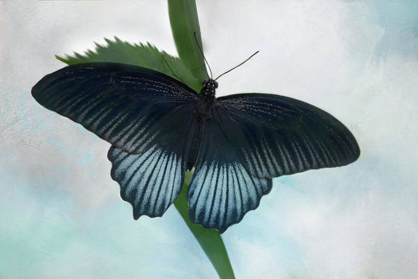 Nectar Mixed Media - Papillo Memnon Butterfly by Isabela and Skender Cocoli