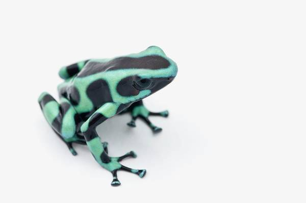 Poison Dart Frog Photograph - Black And Green Poison Dart Frog by Design Pics / Corey Hochachka