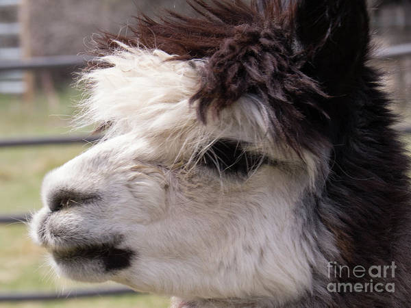 Photograph - Black And White Alpaca by Christy Garavetto