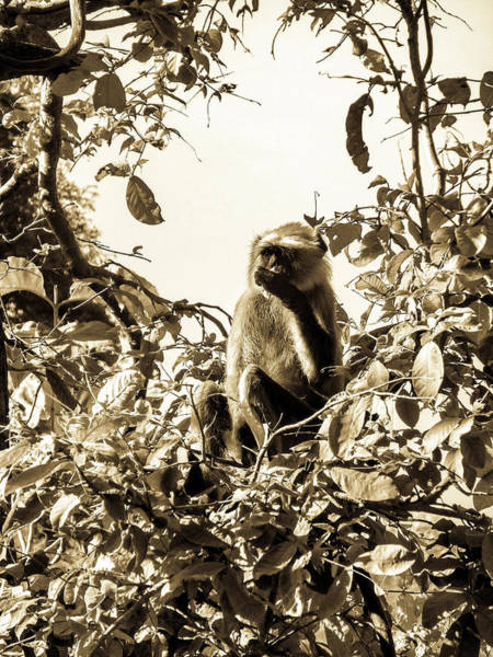 Photograph - Black And White Ape by AE collections