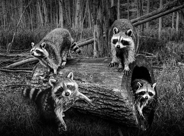 Wall Art - Photograph - Black And White Bandits by Randall Nyhof
