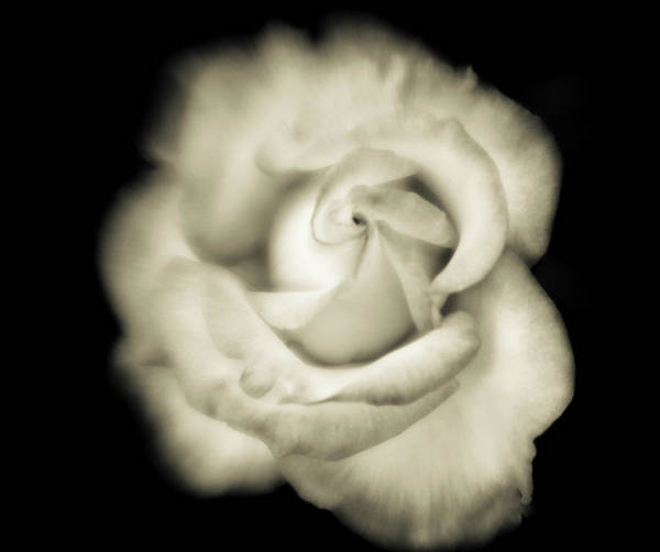 Blossom Photograph - Black And White Close-up Of White Rose by Bob Cornelis