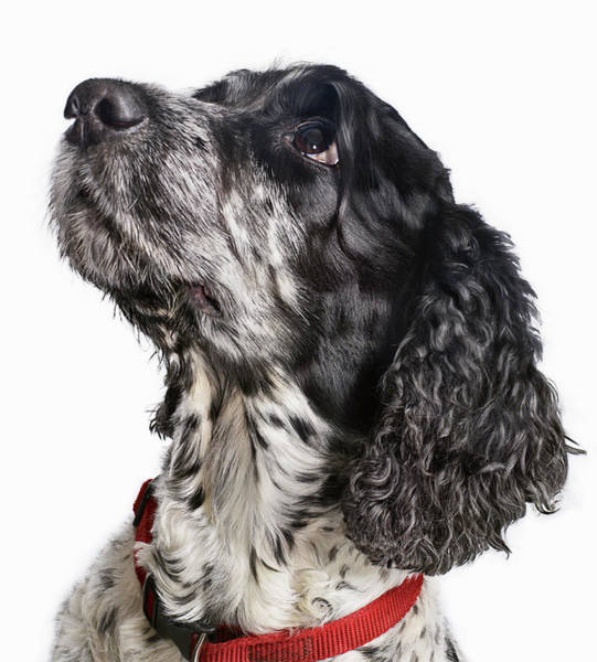 Cocker Spaniel Photograph - Black And White Cocker Spaniel Looking by Gandee Vasan