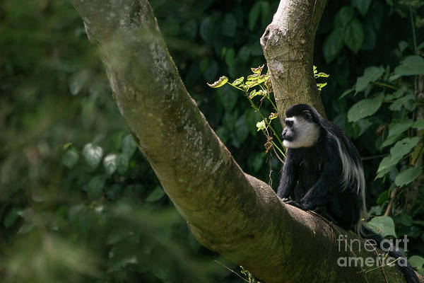 Wall Art - Photograph - Black And White Colobus by Brian Kamprath