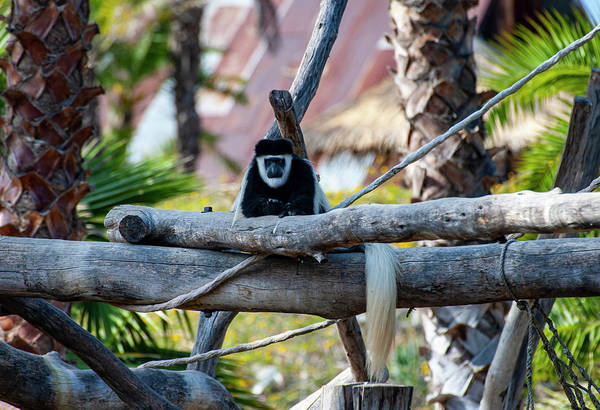 Photograph - Black And White Colobus Monkey by Anthony Jones