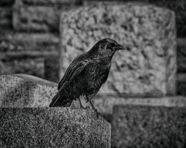 Wall Art - Photograph - Black And White Crow by Gothicrow Images