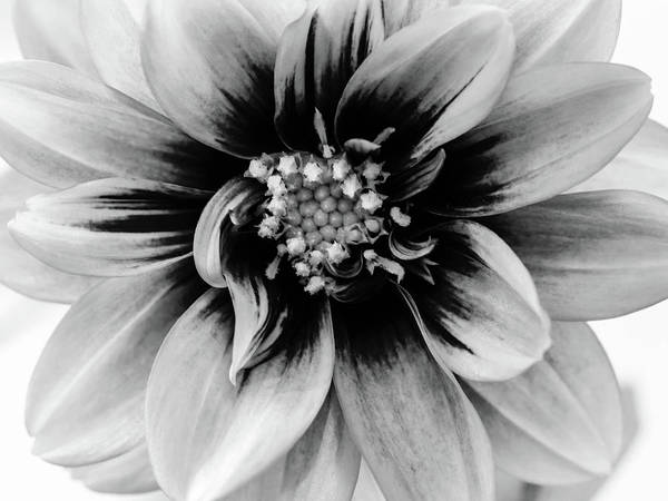 Photograph - Black And White Dahlia by Louis Dallara