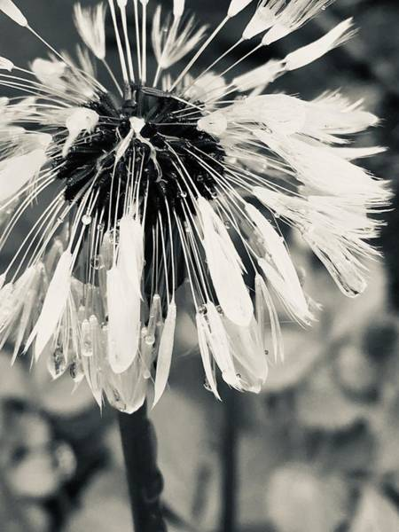 Photograph - Black And White Dandelion Photograph 2 by Itsonlythemoon