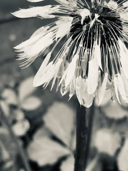 Photograph - Black And White Dandelion Photograph 3 by Itsonlythemoon