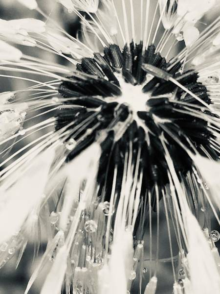 Photograph - Black And White Dandelion Photograph 4 by Itsonlythemoon