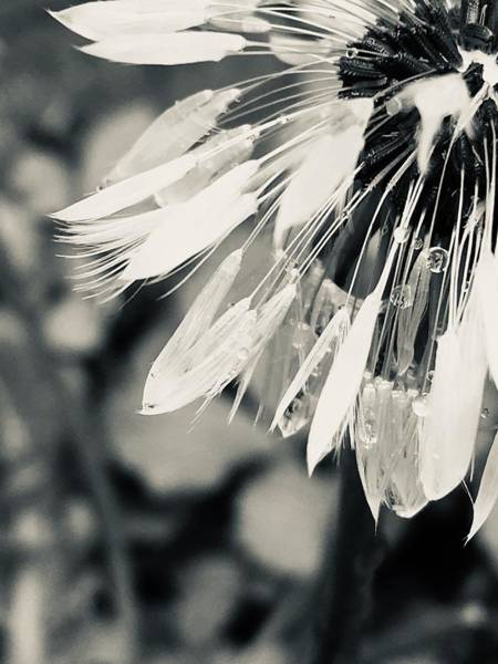 Photograph - Black And White Dandelion Photograph by Itsonlythemoon