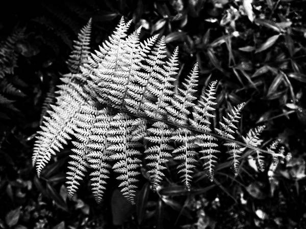 Photograph - Black And White Fern by Louis Dallara