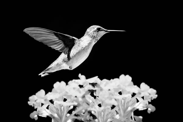 Photograph - Black And White Hummingbird Hovering by Christina Rollo