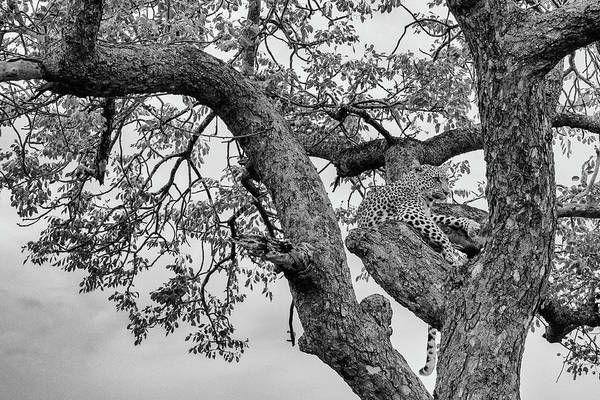 Photograph - Black And White Image Of An Alert Leopard In A Tree by Mark Hunter