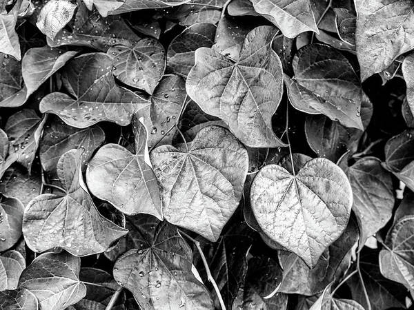Photograph - Black And White Leaves From A Red Leaf Tree by Louis Dallara