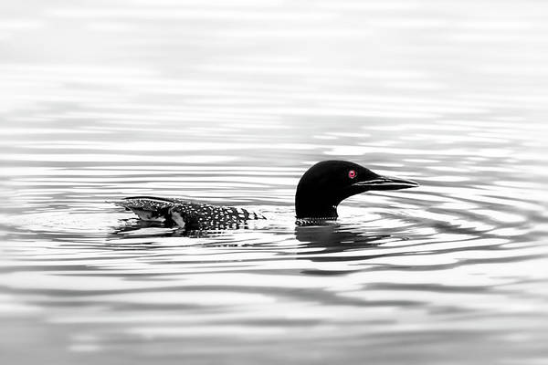 Wall Art - Photograph - Black And White Loon  by Christina Rollo