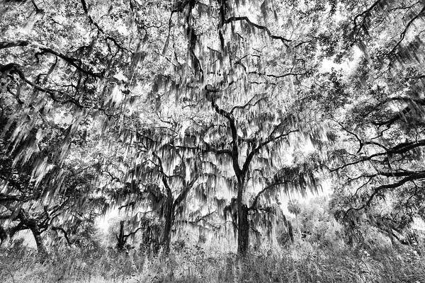 Black And White Of Live Oaks Draped Art Print by Adam Jones