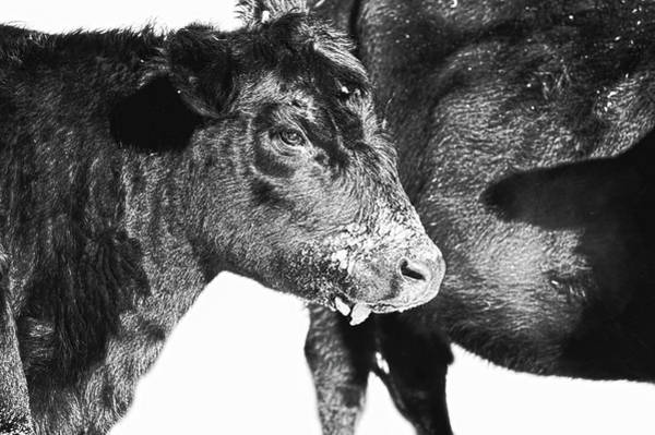 Photograph - Black And White On Angus by Amanda Smith