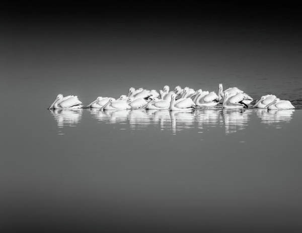 Photograph - Black And White Pelican Reflections by Dan Sproul