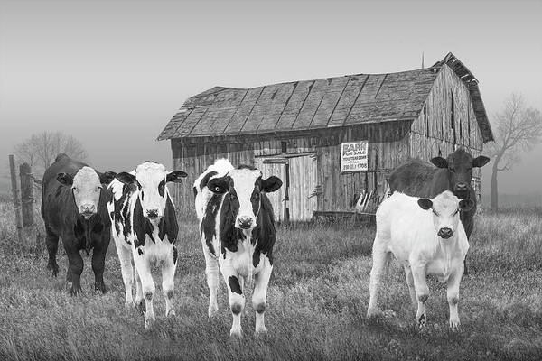 Wall Art - Photograph - Black And White Photo Of Cattle In The Midwest By A Barn For Sale by Randall Nyhof