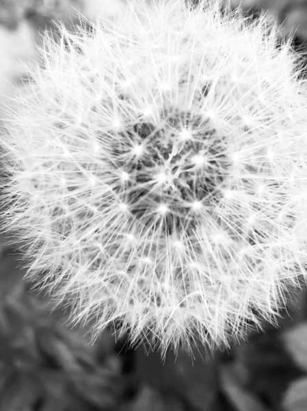 Photograph - Black And White Photograph, Dandelion Clock by Itsonlythemoon