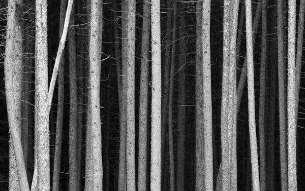 Photograph - Black And White Pine Tree Trunks by Imaginegolf