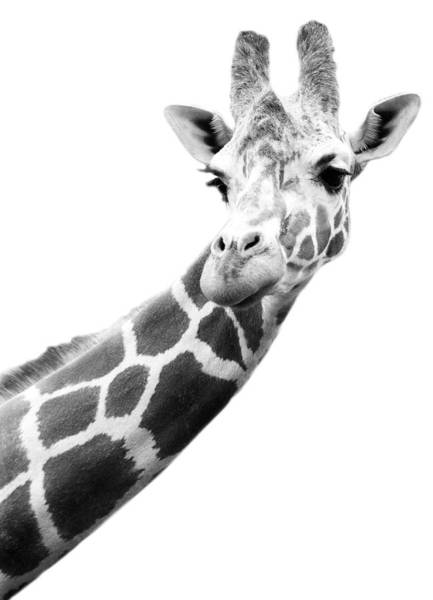 Long Neck Photograph - Black And White Portrait Of A Giraffe by Design Pics