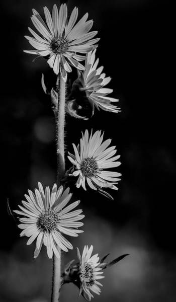 Photograph - Black And White Prairie Sunflowers by Dan Sproul
