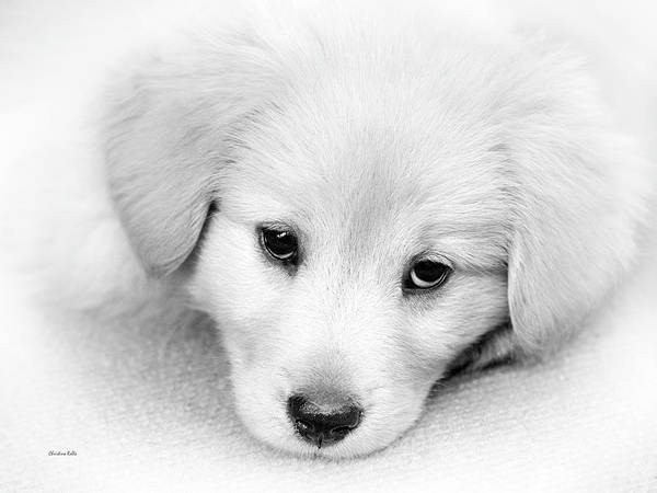 Photograph - Black And White Puppy Portrait by Christina Rollo