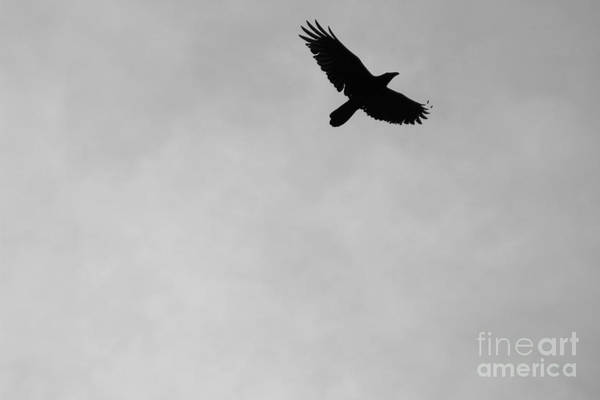 Photograph - Black And White Raven In Flight 2 by Colleen Cornelius