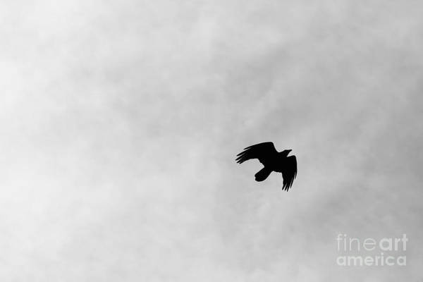 Photograph - Black And White Raven In Flight by Colleen Cornelius