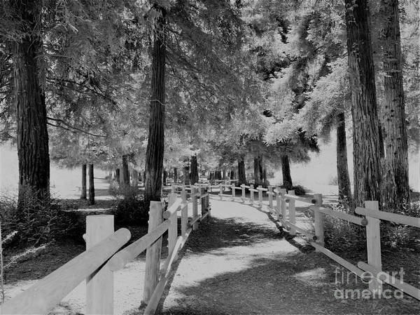 Wall Art - Photograph - Black And White Redwoods by Suzanne Wilkinson