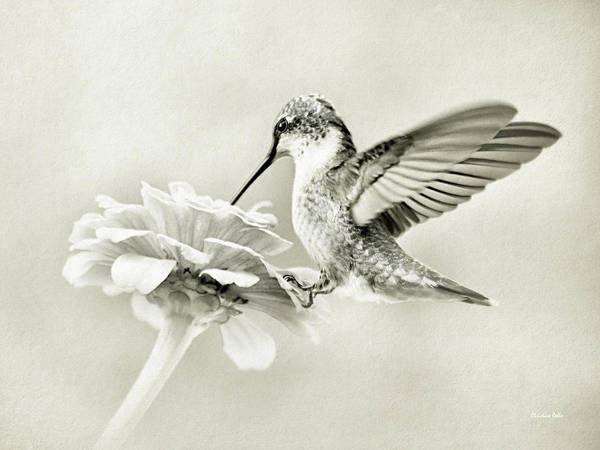 Photograph - Black And White Ruby Throated Hummingbird by Christina Rollo