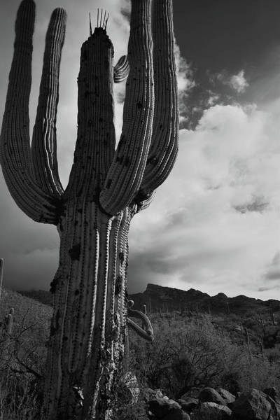 Photograph - Black And White Saguaro Drama by Chance Kafka