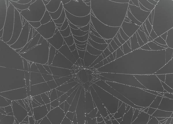 Wall Art - Photograph - Black And White Spiderweb In Dew by Dan Sproul