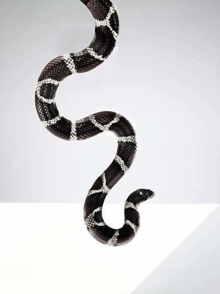 Photograph - Black And White Striped Snake In The by Michael Blann