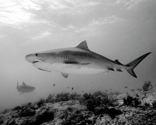 Wall Art - Photograph - Black And White Tiger Shark, Tiger by Brent Barnes