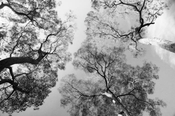 Wall Art - Photograph - Black And White Trees Looking To The Sky by Darrell Gulin