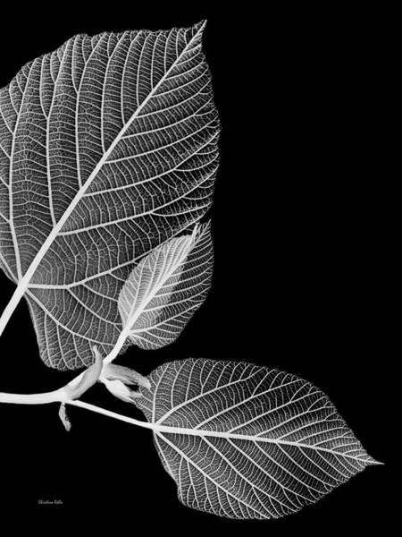 Wall Art - Photograph - Black And White X Ray Leaves  by Christina Rollo