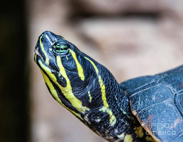Photograph - Black And Yellow Water Turtle Portrait by Lyl Dil Creations