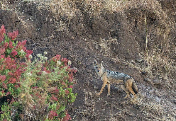 Photograph - Black Backed Jackal by Alex Lapidus