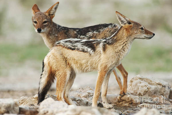Science Education Wall Art - Photograph - Black-backed Jackal, Canis Mesomelas by Peter Fodor